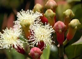 CLOVES BENEFITS FOR TREATMENT cengkeh cloves benefit of cloves secret of cloves