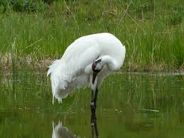 penelopedia nature and garden in southern minnesota whooping cranes