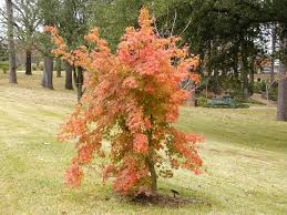 outdoor u0026 garden pretty red coral bark maple for home landscaping