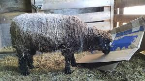 knee deep in sheep