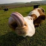 Tongue Trivia - Tapping into the Terrific Talents of the Cow's Tongue