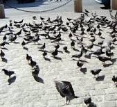 Pigeons Images?q=tbn:ANd9GcTpucKEwSMtm7qPmuxo8xj1rP2KlKIq2kNKmlrWRrUjNOTzdMWOkq_UQcfGbA