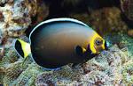 Image result for Chaetodontoplus dimidiatus