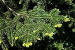 Image result for Abies cilicica