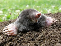 How Do You Get Rid Of Possums In The Backyard by How To Get Rid Of Moles 9 Best Traps Repellents And Poisons From