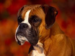 boxer dog uk top 10 dog breeds in the uk