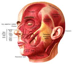 Structure Of Human Anatomy Face Wikipedia