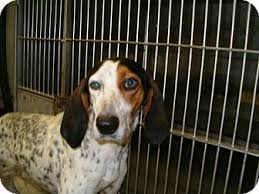 bluetick coonhound puppies for sale in ohio john delaney adopted dog 28 upper sandusky oh bluetick