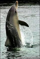Golfinho selvagem ensina companheiros a andar na água