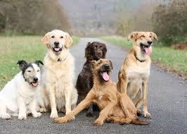 belgian sheepdog chow mix choosing the right dog breed dog zen