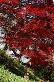 Maple Tree Symbolism by File Acer Palmatum Img Jpg Wikimedia Commons