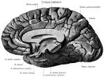 What is the <b>corpus callosum</b>?