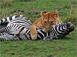 صور حيوانات مفترسه  Images?q=tbn:ANd9GcTvJDa67Qx7oVv2wxlhcaDVfpAGXlnmAGjuazqlE8USqpGNfMW9