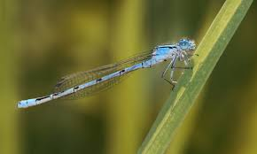 Narrow-winged damselflies