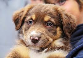 australian shepherd yorkshire terrier mix australian shepherd puppies for sale akc puppyfinder