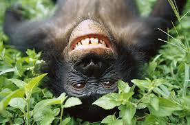 bonobogrin