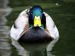 quack Ducks