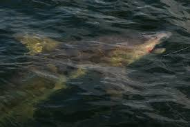 shark fishing charters orange beach distraction charters