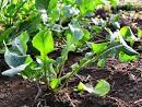 Organic vegetable gardening posts about ARUGULA. | Tiny Farm Blog