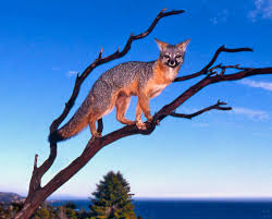 Image result for grey fox climbing tree