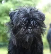 oldest affenpinscher affenpinscher u2013 dog breeds beginning with the letter a http www