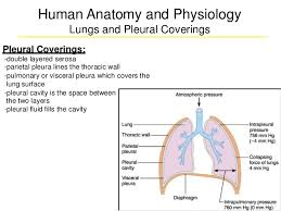 Anatomy And Physiology Of Lungs Respiratory Anatomy 1