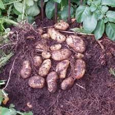 Solanum tuberosum 'Charlotte'