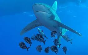 البيئة تعلن اصطياد القرش الثانى المتسبب بإصابة السائحين Shark-Diving-in-Egypt