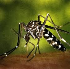 Informació per la prevenció del mosquit tigre
