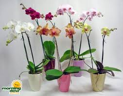 Orchidėjos - namų puošmena