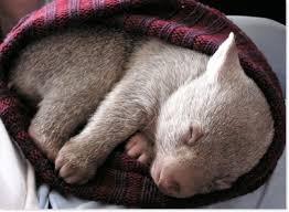 Wombats belong