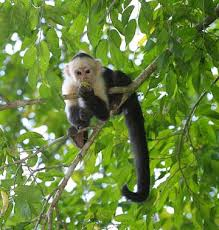 Spider Monkey Killed, Missing