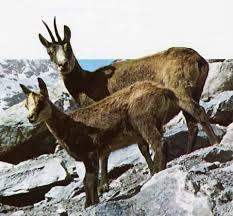camosci Predazzo, dalla Forestale i dati sullo stato di salute della fauna selvatica sulle nostre montagne.