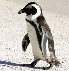 a jackass penguin 10 Jenis Hewan Yang Menghadapi Kepunahan