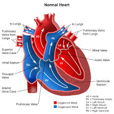 Normal Heart. The aortic valve