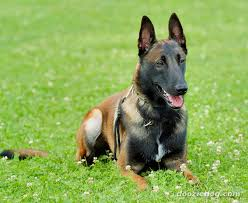 ABelgian Malinois Dog