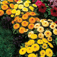 Najjednostavnijije vrtne cvjetnice Neven5