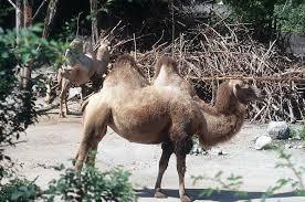 صور جمل من ملك روحي  Camel_animal_photo_3