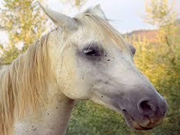 الخيول العربية الاصيلة 4136_1165450508