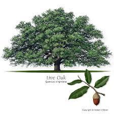 Live Oak (Encino)