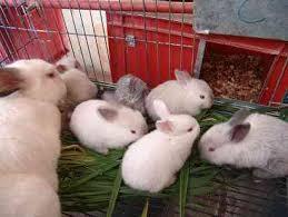 Guia para iniciarse en la cria comercial de conejos