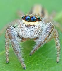 """Ethelreda """"Red"""" Mordread Jumping_spider_-_Marpissa_radiata"""