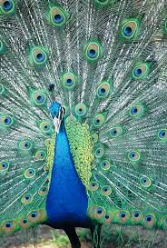 the King of Peacocks were