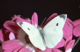 The White Butterfly [Kupu Kupu Putih] Cabbage-moth-cabbage-butterfly-1-la