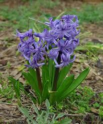 http://t2.gstatic.com/images?q=tbn:ZcsGuaTeTQKLrM%3Ahttp://www.gzoland.com/alimentation/plante-toxique/hyacinthe.jpg