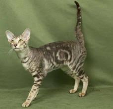 IMAGE(http://t2.gstatic.com/images?q=tbn:bQ6Guc-7BIYhiM:http://www.cat-world.com.au/images/Orient4.jpg)