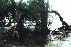 grey mangrove