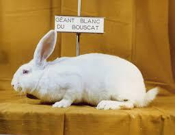 أنواع الأرانب بالصور
