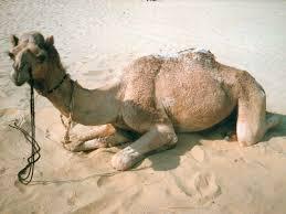 صور جمل من ملك روحي  Photo-camel