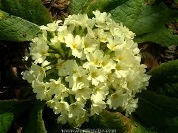 VII LEKCIJA Cvijet_Jaglac-Trubentica